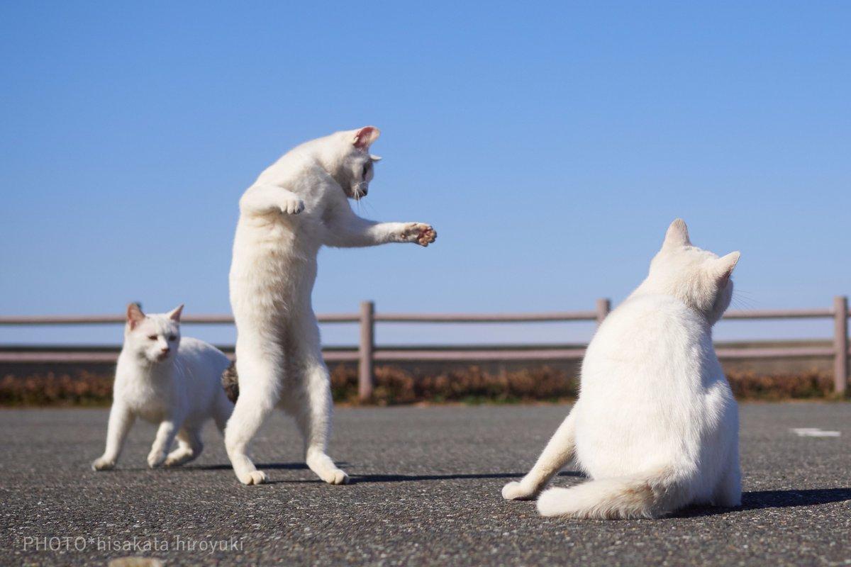 白猫拳を極めようと切磋琢磨する猫