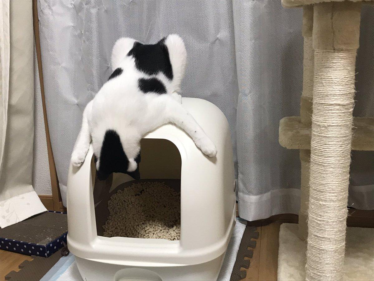 逆さまになってトイレを覗き込む猫