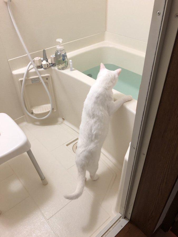 仲良くお湯張りを観察する白猫の兄弟