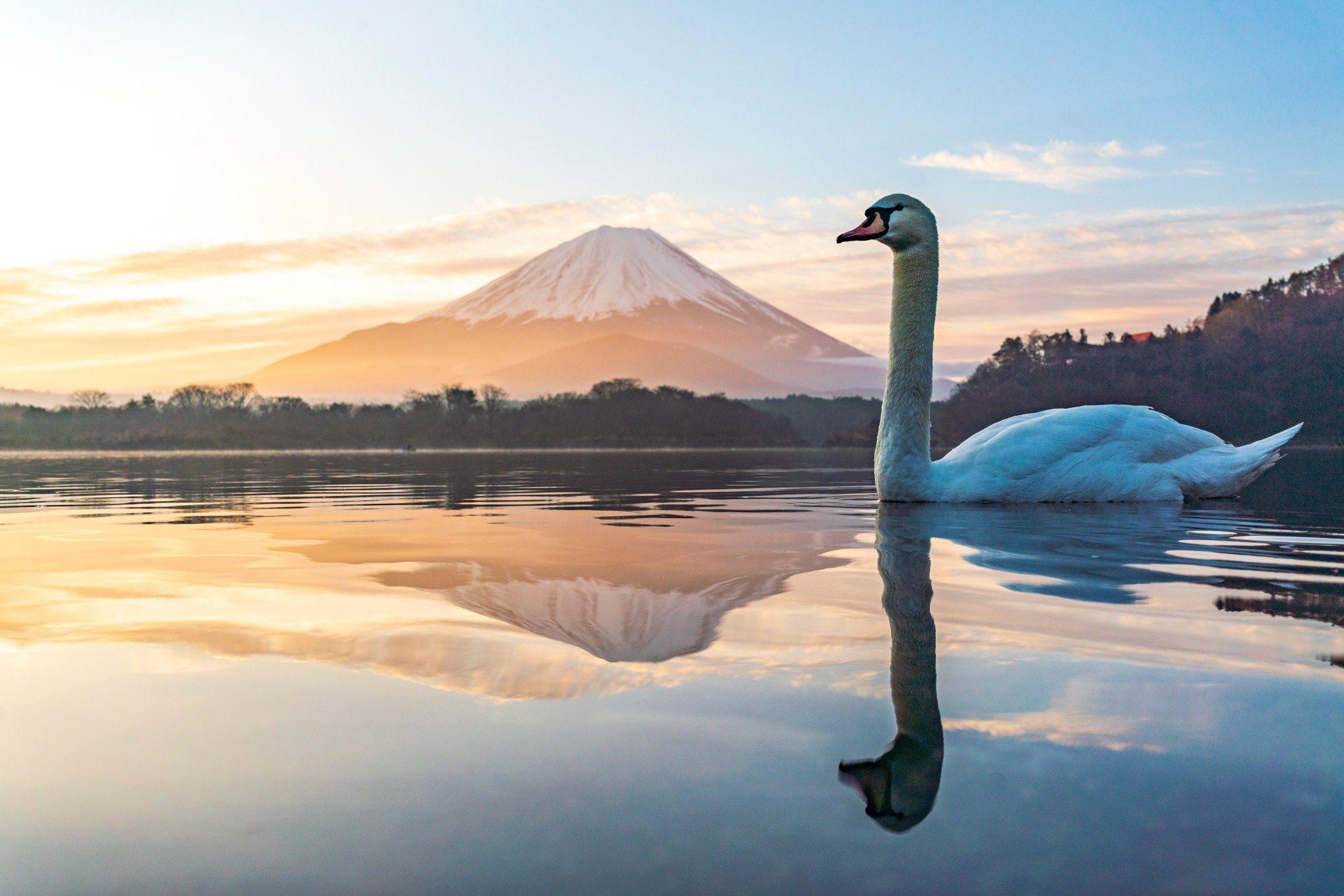 逆さ富士を消してドヤ顔の白鳥
