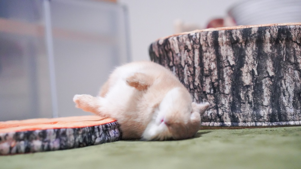 ひっくり返って寝転ぶウサギが「完全に強者」