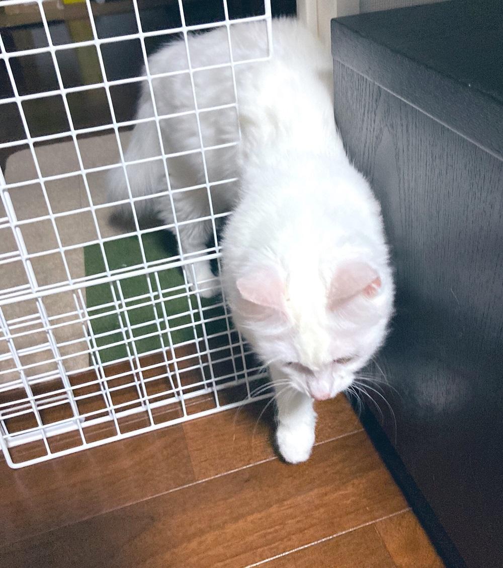 格子戸をすり抜けしてしまう猫