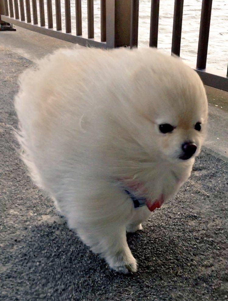 強風にも負けず散歩するポメラニアン
