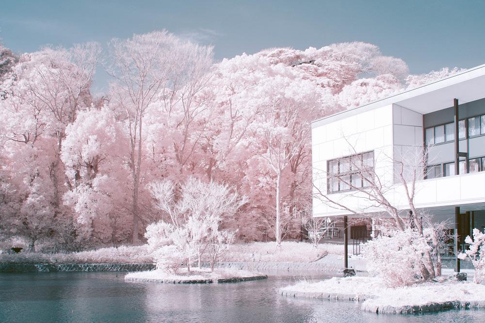 緑の葉、桜色に咲き誇る幻想的な赤外線写真