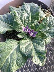 画像:ハリポタファン「実在したんだ」 伝説の植物、マンドラゴラが兵庫で開花