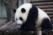 広島県にパンダがやってくる、かも? 県境・庄原市長が誘致に意欲