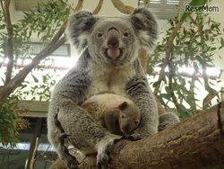 画像:生後半年の赤ちゃんコアラを見に行こう…埼玉こども動物自然公園