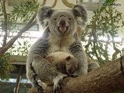 生後半年の赤ちゃんコアラを見に行こう…埼玉こども動物自然公園