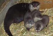 園初、コツメカワウソの赤ちゃん3頭誕生…埼玉こども動物自然公園