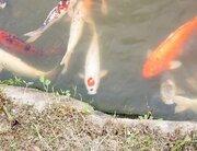 コイの頭に「赤いC」 広島...じゃなくて、山口の池にいる「カープちゃん」