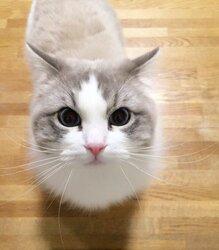 画像:初めてうがいを見た猫 歩み寄って心配そうに見つめる姿が可愛いと話題に/画像提供:あめこ(@AmETHYSTE28)さん