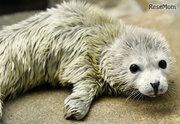 海遊館でゴマフアザラシの赤ちゃんが誕生…1日1kg以上の体重増加も