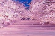 弘前市「冬に咲くさくら」のインスタ映えスポット、仕掛け人に聞いてみた