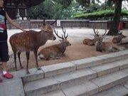 奈良公園で「シカに噛まれた!」 中国人観光客からの訴えが多い理由