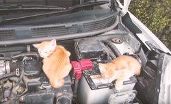 画像:猫が車の隙間に潜り込む映像 日産が猫バンバンムービーを公開