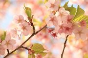 気象庁の発表はまだだけど... 千鳥ヶ淵の桜が、ほどよく咲いてました
