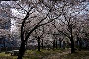 福岡の中心で、花見が有料に? 事情を天神中央公園管理事務所に聞くと...
