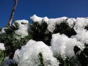 春の桜に雪が舞う 「寒の戻り」見舞われた関東、ツイッター投稿続々