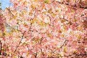 週末は花見日和! 全国の「桜」ツイート最新情報【3月23日版】