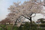 1本だけ早く咲く「13本目の桜」が羽生市に 一体なぜ?その理由を調べてみると...