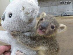 画像:【春休み2018】赤ちゃんコアラの名前を決めよう、こども動物自然公園4/1-8