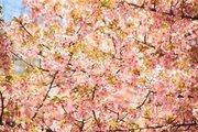 関東は散ったけど... 東北・北陸は桜の見ごろです