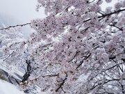 幻想的で美しい... 「雪と桜」の絶景写真、関東各地で激写される