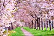 金沢~名古屋を「桜の道」で結びたい ある男が抱いた壮大な夢の物語