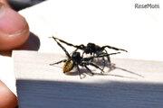 親から子、孫へ伝えたい「クモ相撲」から知る自然の面白さと大切さ