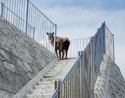 「南三陸ではニホンカモシカも階段を利用します」 人里に馴染みすぎてる「天然記念物」にビックリ