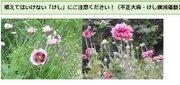 「この花に見覚えありませんか」違法なケシの開花シーズンで保健所が注意喚起