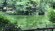 井の頭公園に「モネの池」、水草揺らめく癒しの光景に注目あつまる 絶滅危惧種60年ぶりの復活から次の段階へ