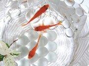 金魚すくい全国大会もある「金魚の町」その歴史は江戸時代までさかのぼる