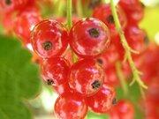 宝石のような美しさ! 真っ赤な果実「フサスグリ」、宮城の新たな特産に