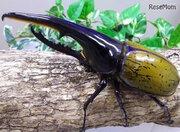 【夏休み2017】約200匹のカブトムシ放虫も…大阪「世界の昆虫展」8/9-20