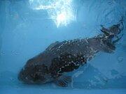 天然フグ漁獲量日本一は石川県 お手頃価格で食べられるお店も