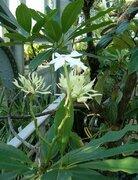 「ひょっとしてマンゴー?」と思っても食べないで! 沖縄で見かける有毒植物、オキナワキョウチクトウに要注意