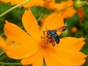 「幸福の青いハチ」南阿蘇に戻る 熊本地震からの回復また1つ