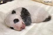 ジャイアントパンダの赤ちゃん、名前をつけてね…和歌山