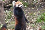 レッサーパンダが真っすぐ立てる意外な理由 実は、人間と同じ...