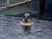 水中でくつろぐアザラシが「露天風呂のおっさん」にしか見えない