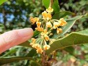 北海道では伝説の花...? 道民は「キンモクセイの香り」を知らないらしい