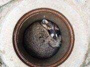 アライグマがマンホールの「ふた」自ら開けて、そのまますっぽり... 茶臼山動物園の「カールくん」の器用さにびっくり【動画】