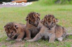 画像:アドベンチャーワールドの新アイドル、3つ子ライオンと無料で記念撮影
