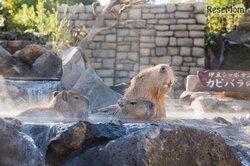 画像:赤ちゃんもお風呂デビュー、35周年「元祖カピバラの露天風呂」11/18より
