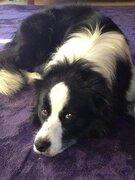スズメバチから登山客守る! 長崎のお手柄犬「ロン」、元気になったが白髪が増えた