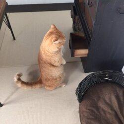 画像:おもちゃがなくてニャンコ愕然…立ち尽くして悲壮感ただよう猫が可愛いと話題に/画像提供:京都町家猫カフェ キャットアパートメント(@CatApartment)さん