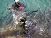じぇじぇじぇ!シーパラ水槽に海女さんが! 3日間限定の水中「ウニ漁」ショー