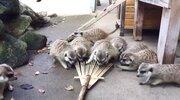 はじめての熊手にビクっ!好奇心を抑えきれない市川市動植物園のミーアキャットが可愛いと話題に