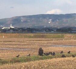 画像:佐渡島に珍しい「クロハゲワシ」が飛来! カラスに襲われて弱っている恐れも